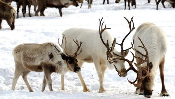 В российской тундре массово умирают олени