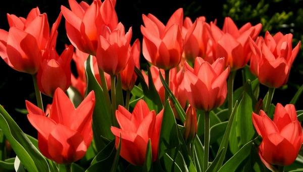 Как осенью правильно посадить тюльпаны, чтобы встретить май с цветами?