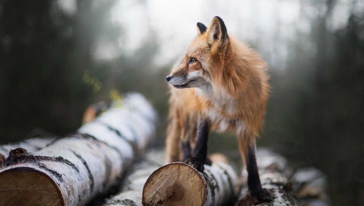 Деревню под Серпуховом третирует стая лис