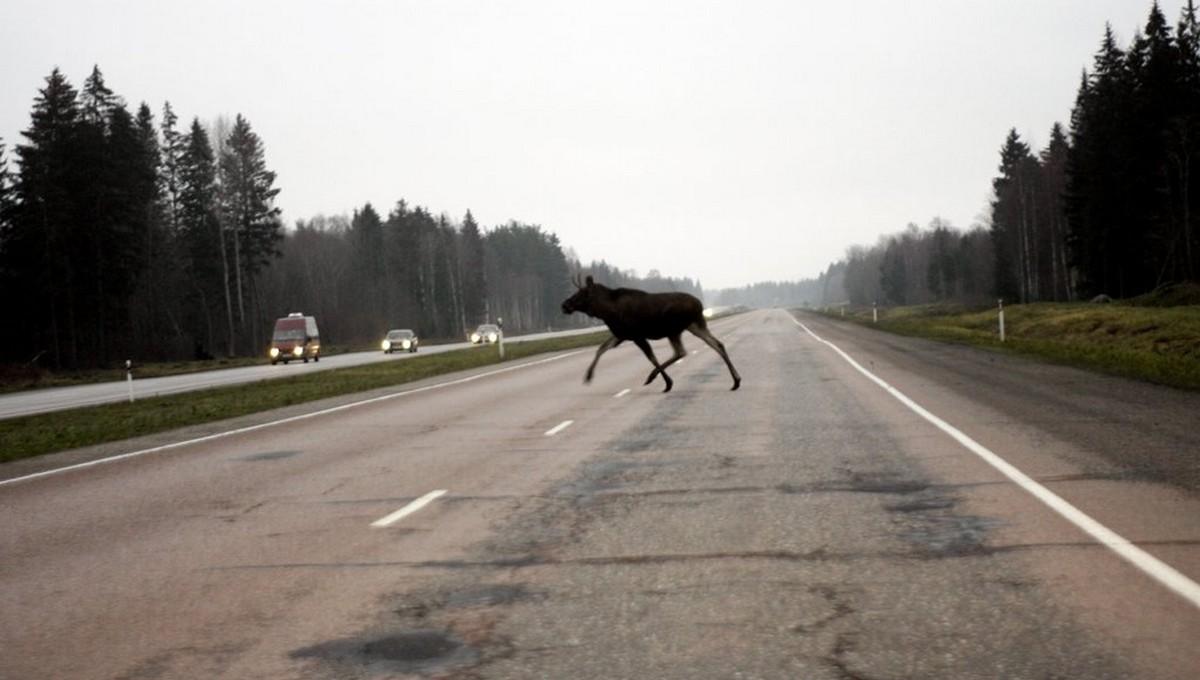 На трассе М2 легковушка сбила лося