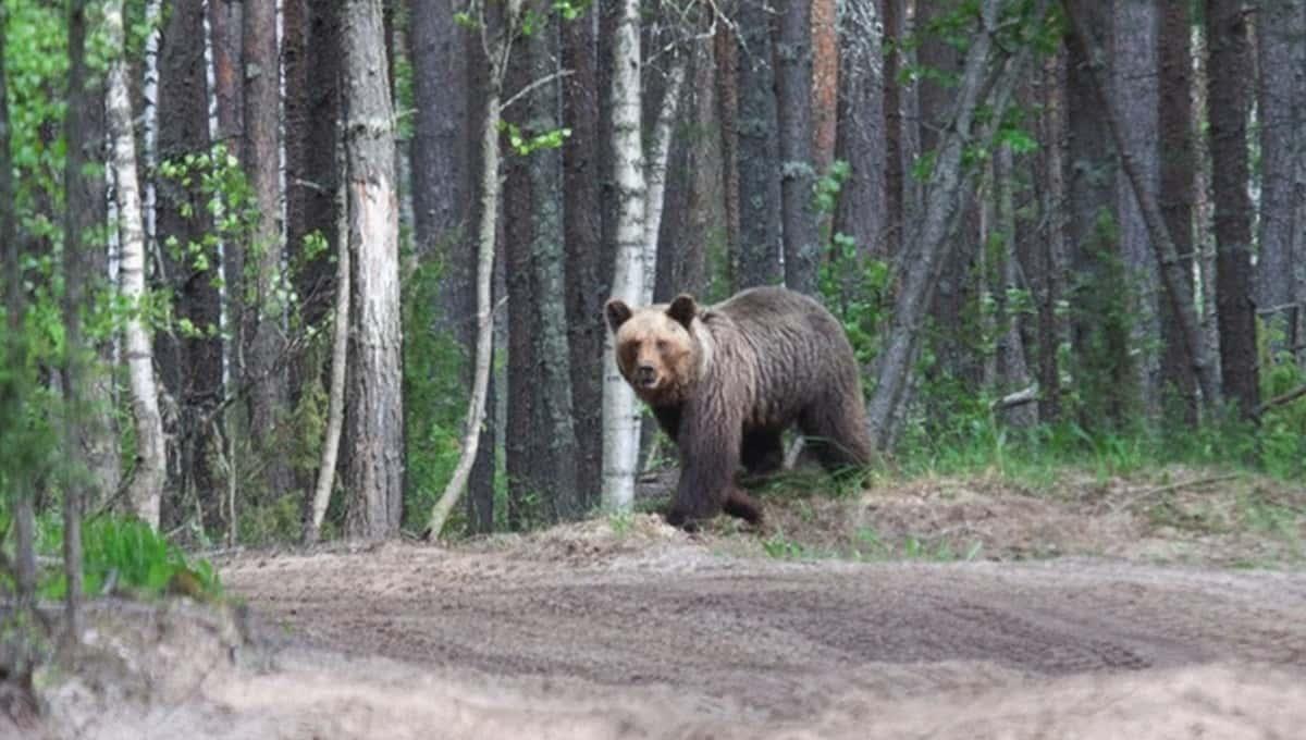 В одном из российских парков за лето медведи убили двоих