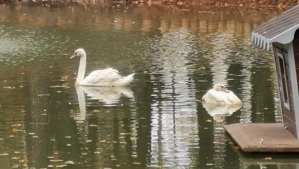 В главном парке Серпухова булыжником ранили лебедя