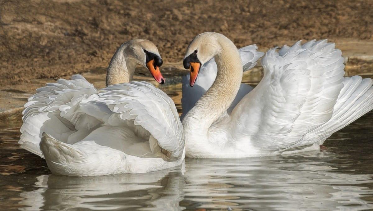 Как чувствуют себя лебеди Степа и Стеша после нападения вандалов в парке Серпухова