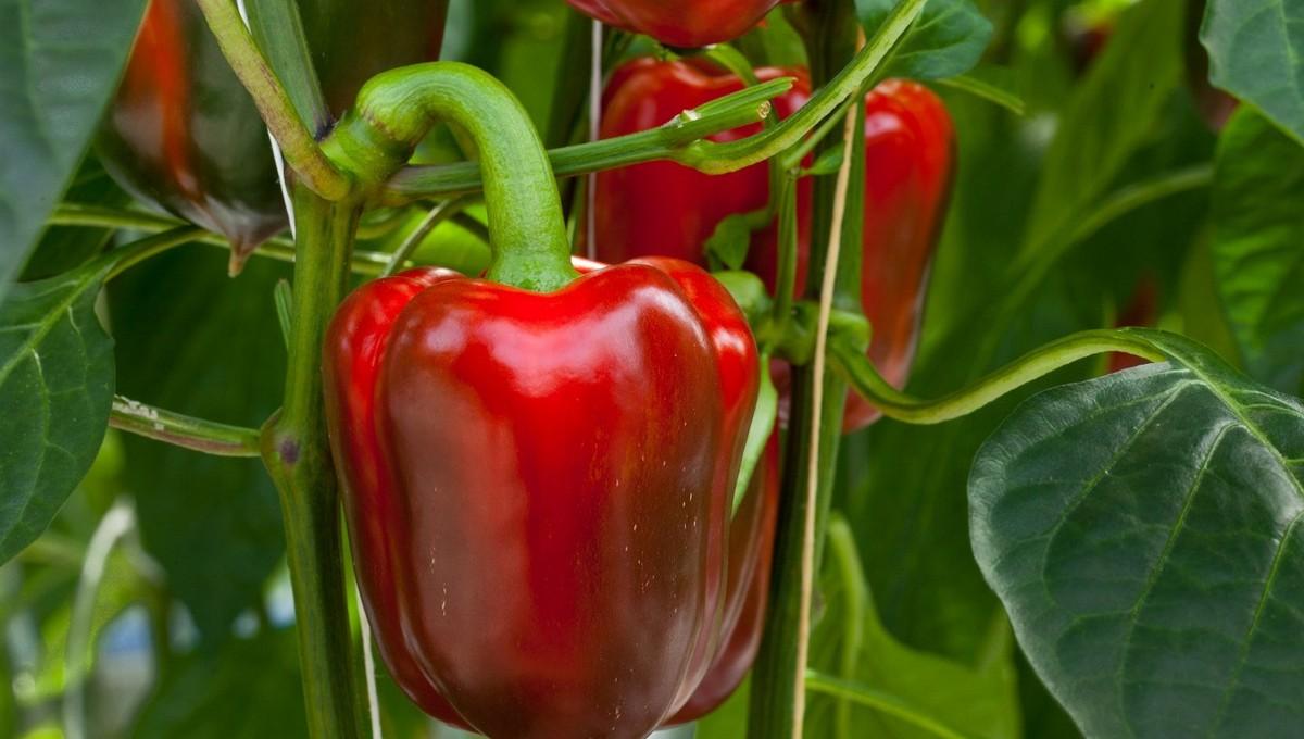 В июле особых уход требуется в огороде перцам