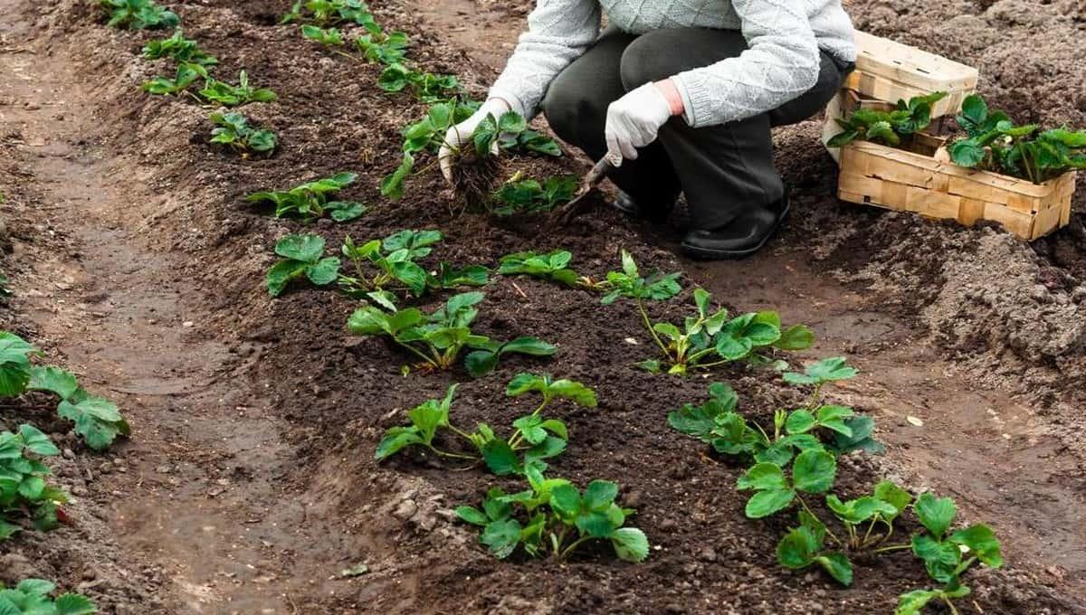 Чем подкормить клубнику до холодов, чтобы урожай порадовал?