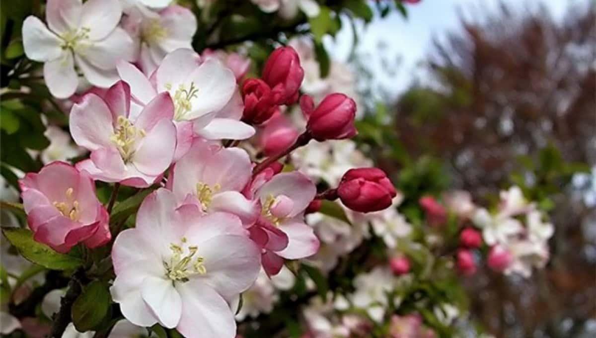 В каких регионах ожидается «розовый май»?