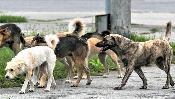 Стая бродячих собак атаковала мальчика в Подмосковье