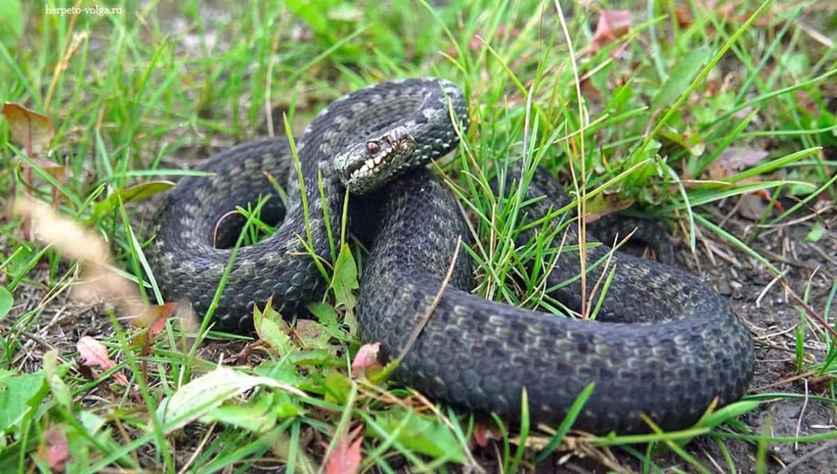 Ядовитые змеи перешли в наступление в Подмосковье